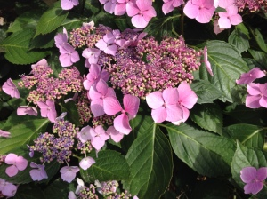 Hanging out with the hydrangeas